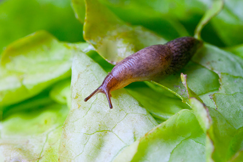 slugs eating plants